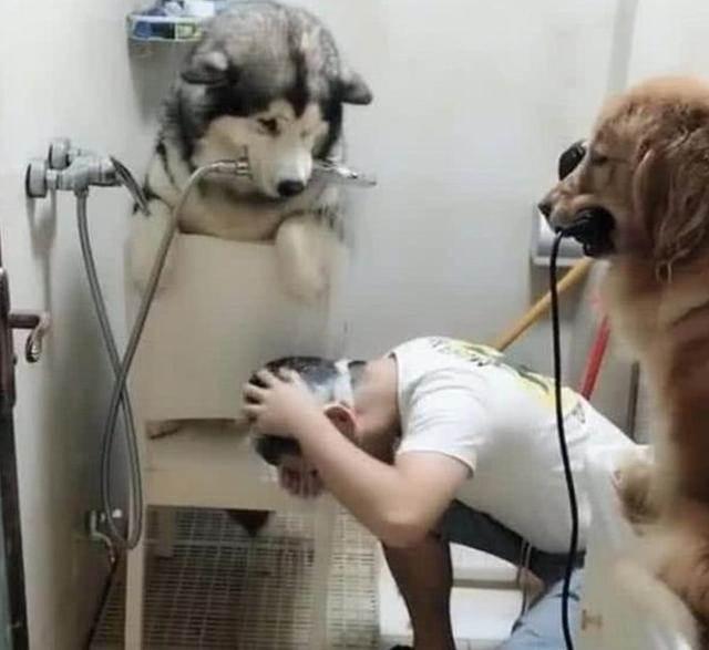 哈士奇和金毛幫人類洗頭。網友看後驚呆了:太聰明了~
