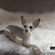 tabby_cat_bjd_1
