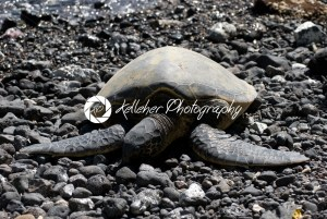 Close up of sea turtles resting on a rocky sand beach in Maui Hawaii - Kelleher Photography Store