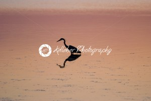 Egret in sound at sunset near Currituck, Outer Banks, North Carolina - Kelleher Photography Store