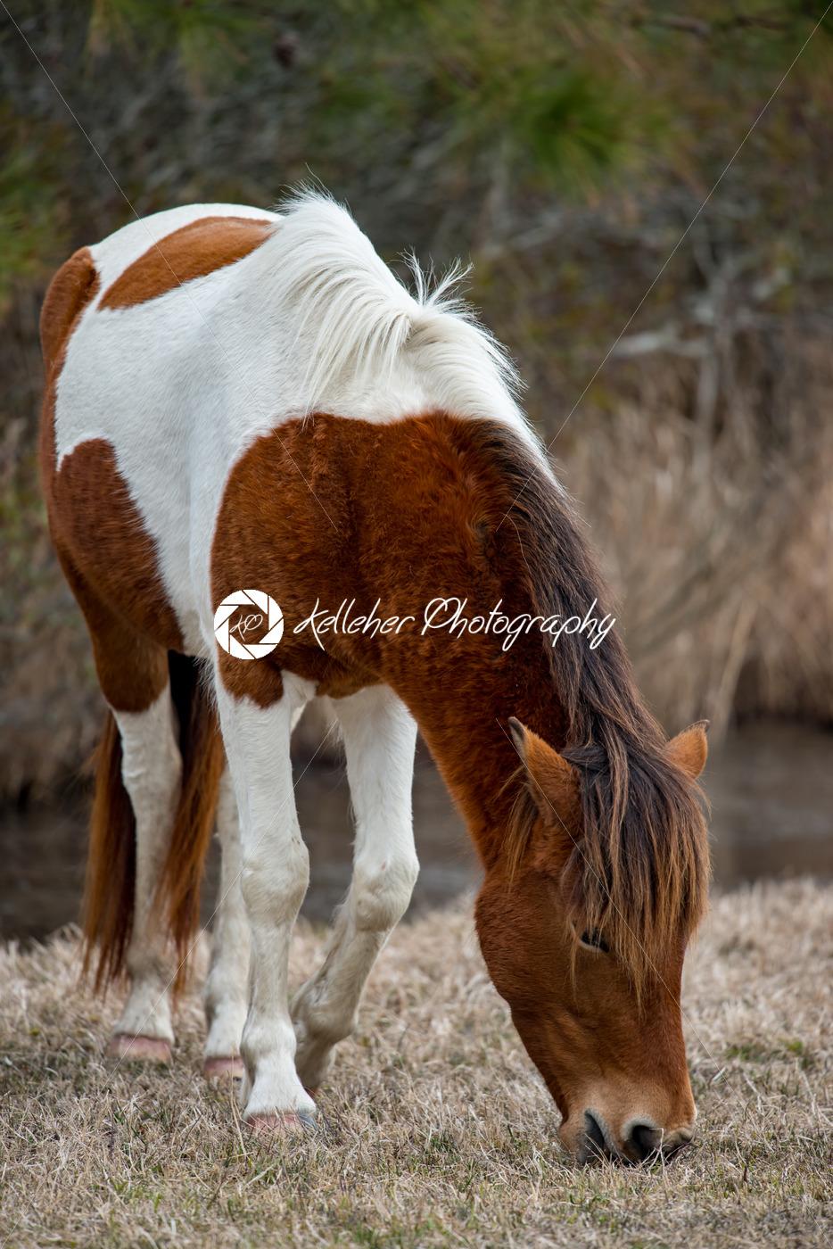 An Assateague wild horse in Maryland - Kelleher Photography Store