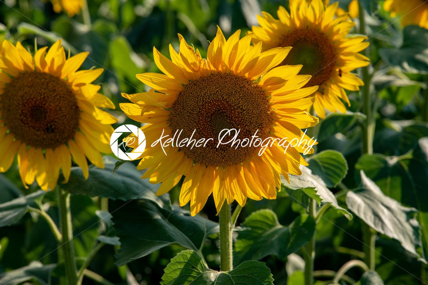 Sun flower Field during sunset hour - Kelleher Photography Store