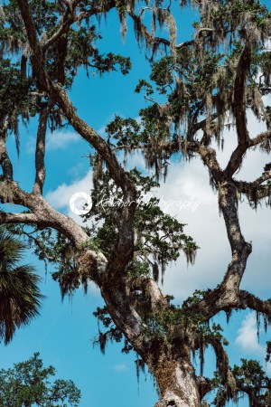 Live Oak with Spanish Moss tree in Bonaventure Cemetery Savannah Georgia - Kelleher Photography Store