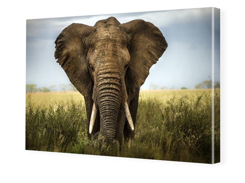 Elefant Bild Auf Leinwand Preisvergleich  Die besten