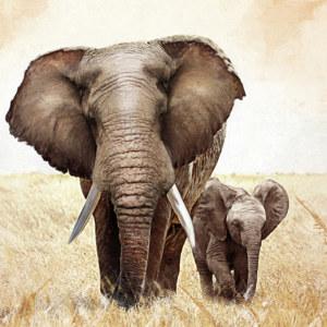 Poster mit Elefanten  der Zauber Sdafrikas