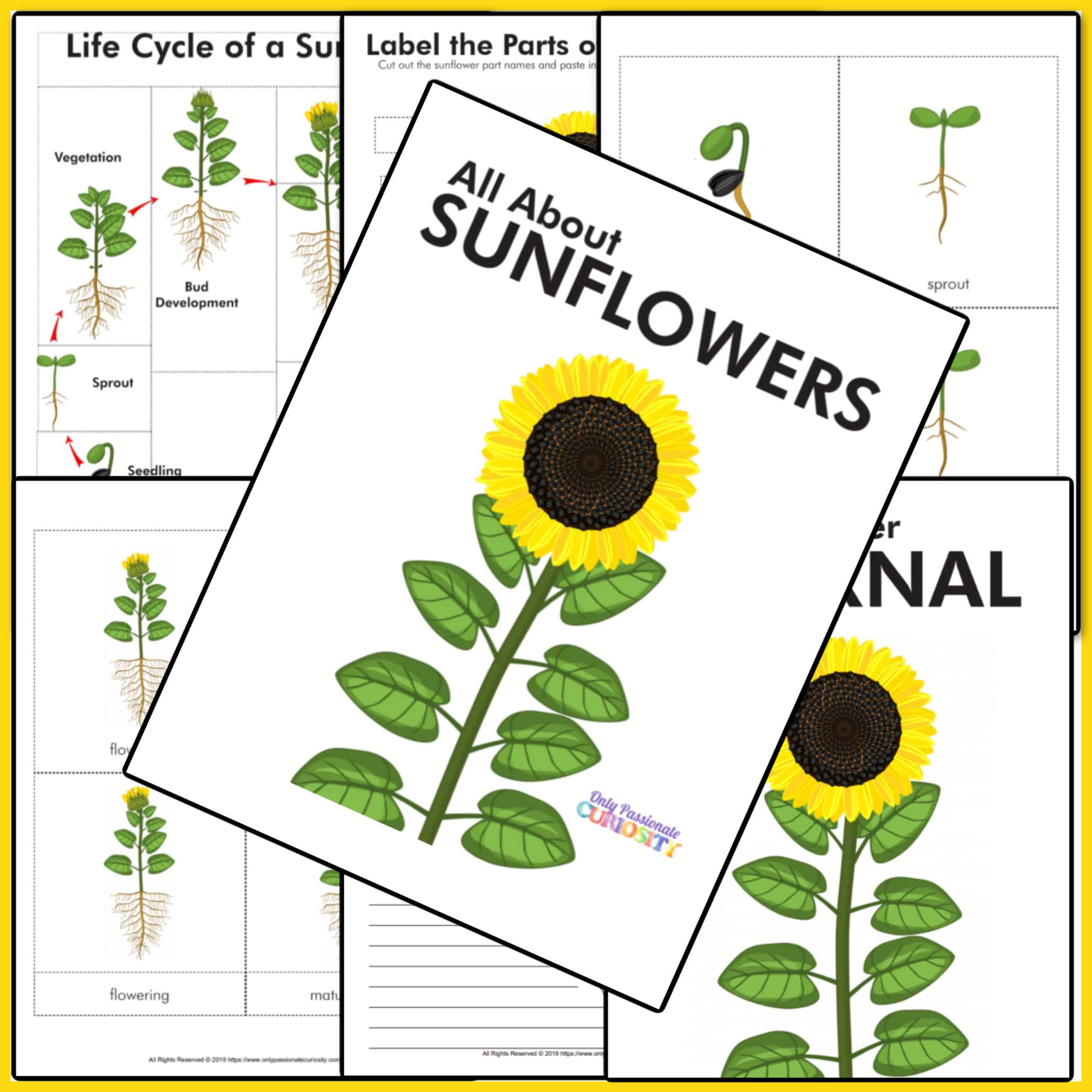 All About Sunflowers Life Cycle Study Only Passionate Curiosity