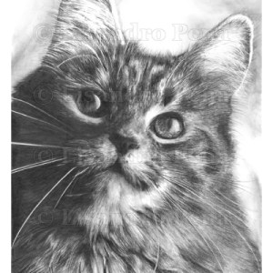 Maine Coon Pencil Drawing