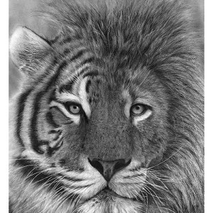 tiger lion pencil drawing