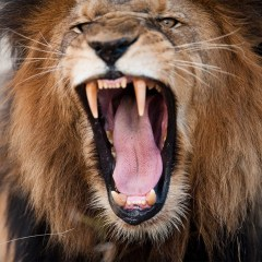 angry lion avatar on