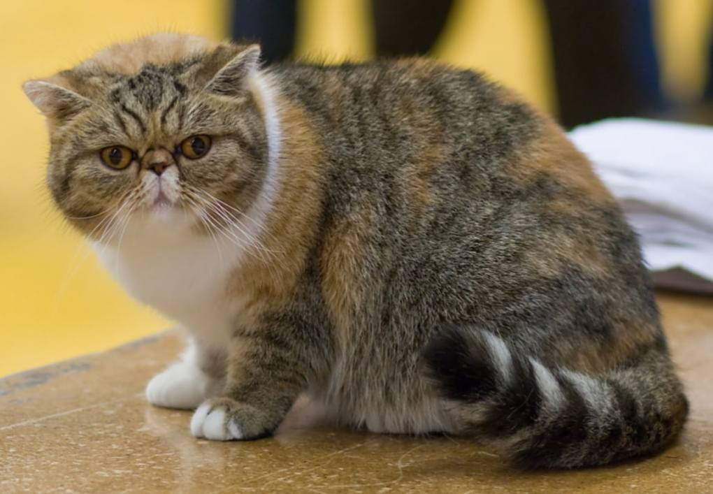 Exotic Shorthair cat at The Great Cat Store