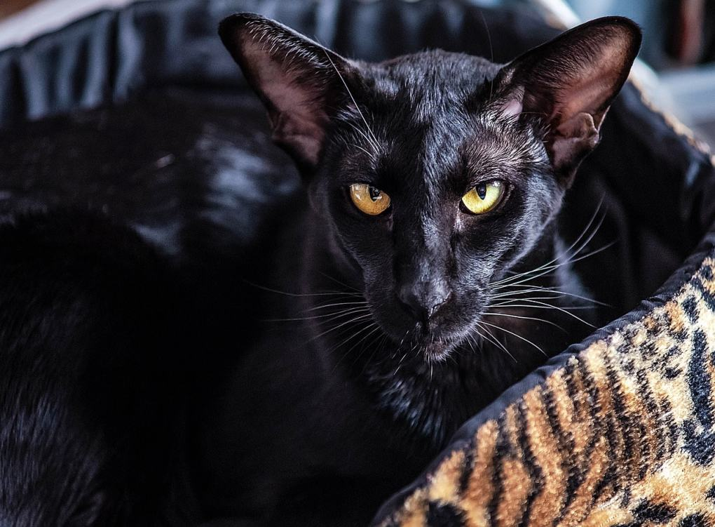 Oriental Cat at The Great Cat Store-15 most popular cat breeds