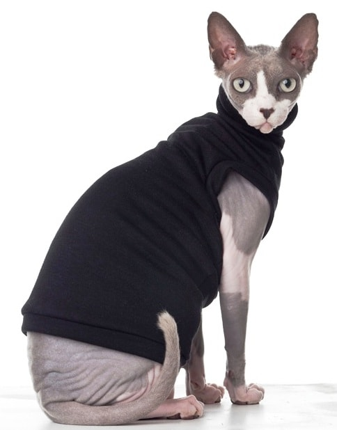 Sphynx cat at The Great CAt Store