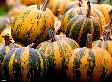 Oilseed pumpkin