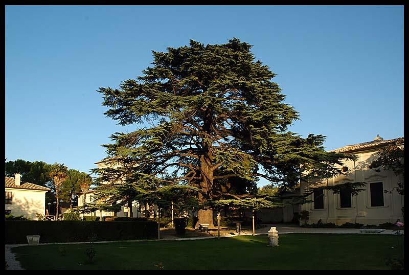 Il Cedro di Villa Redenta, Spoleto