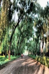 Willows - Pingyao
