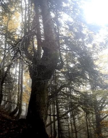Abete bianco - monumentale - Val Cavargna