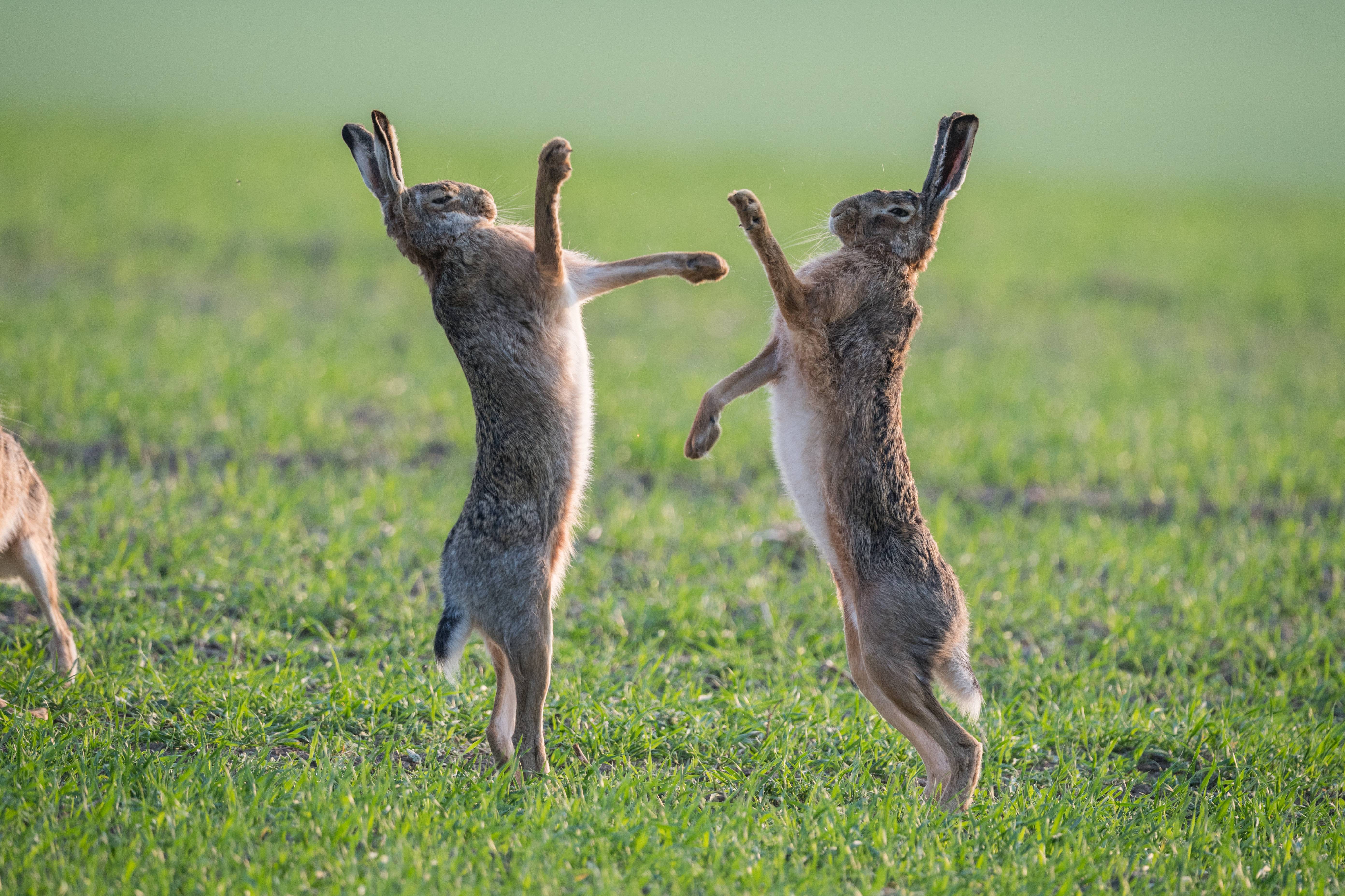 two male hares fiercely