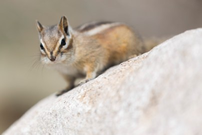 Cheeky chipmunk