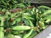 farm stand corn
