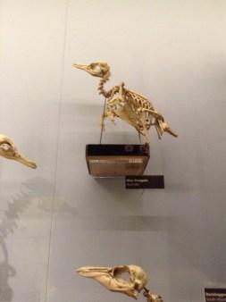 Blue penguin skeleton. Nature's Library, Manchester Museum
