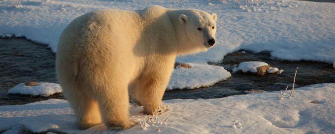 Available from: http://www.wwf.org.uk/wildlife/polar_bear/?pc=APP004001&ds_medium=cp&gclid=CIjKnIeRw8wCFcSRGwodMtUKIA&gclsrc=aw.ds