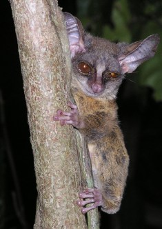 http://www.galagoides.se/species/g_rondoensis.html