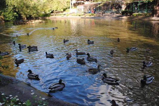 feeding-the-ducks