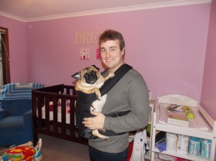 T and the pug testing out the baby carrier in the almost finished nursery.