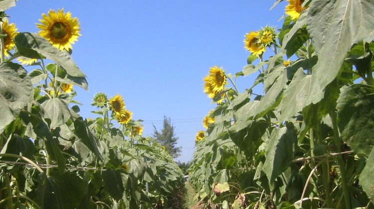 Sunflowers in Hsinchu, Taiwan