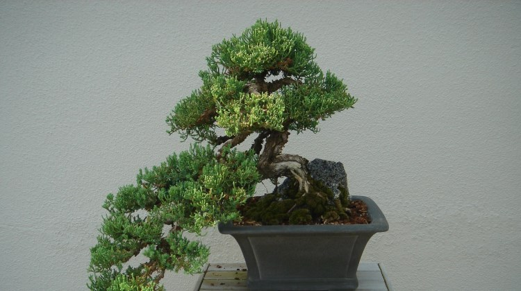Bonsai tree at Longwood Gardens