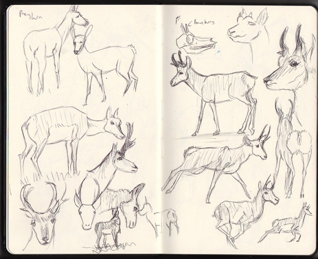 Pronghorn Sketches