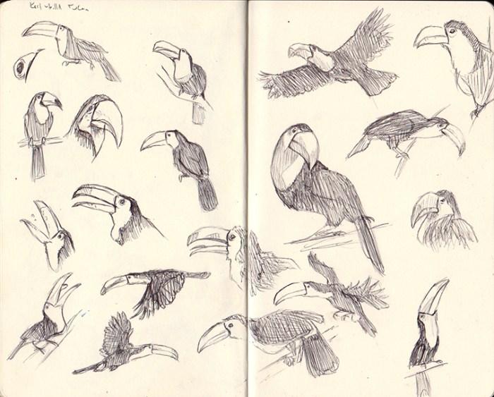 tucan sketches