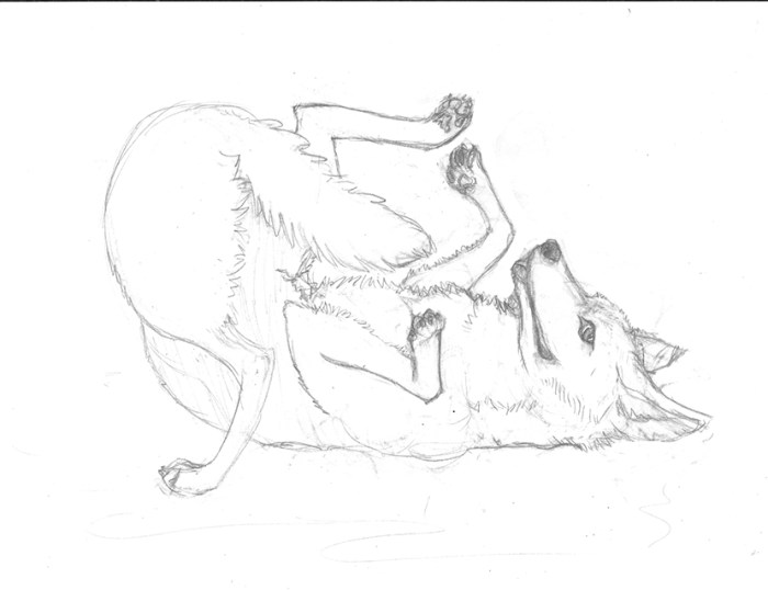 A sketch of a coyote scent rolling behavior