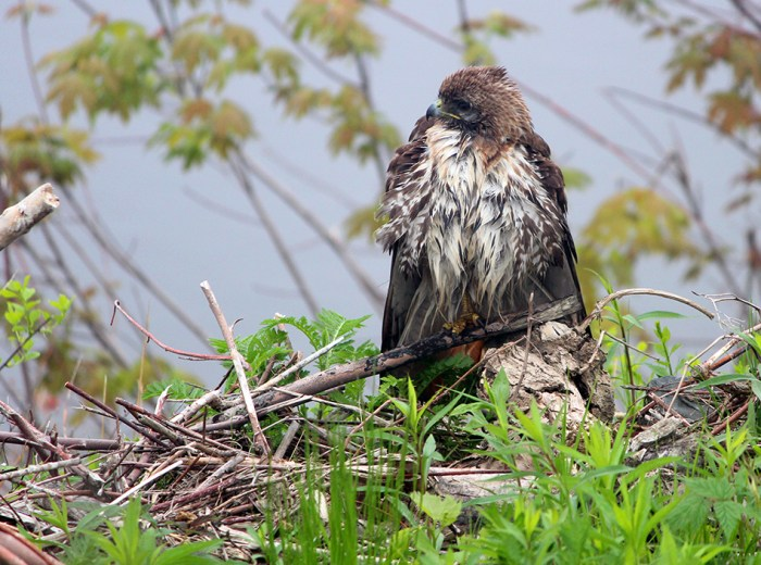 a very wet red tail hawk