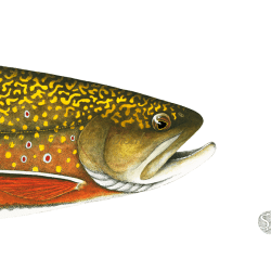 Brook Trout Head Study