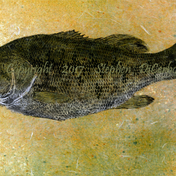 Champlain Largemouth Bass 9