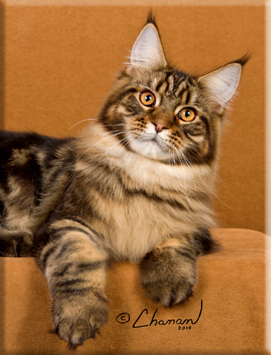 Maine Coon Cats For Sale In Iowa : maine, Stormytown, Maine, Coons