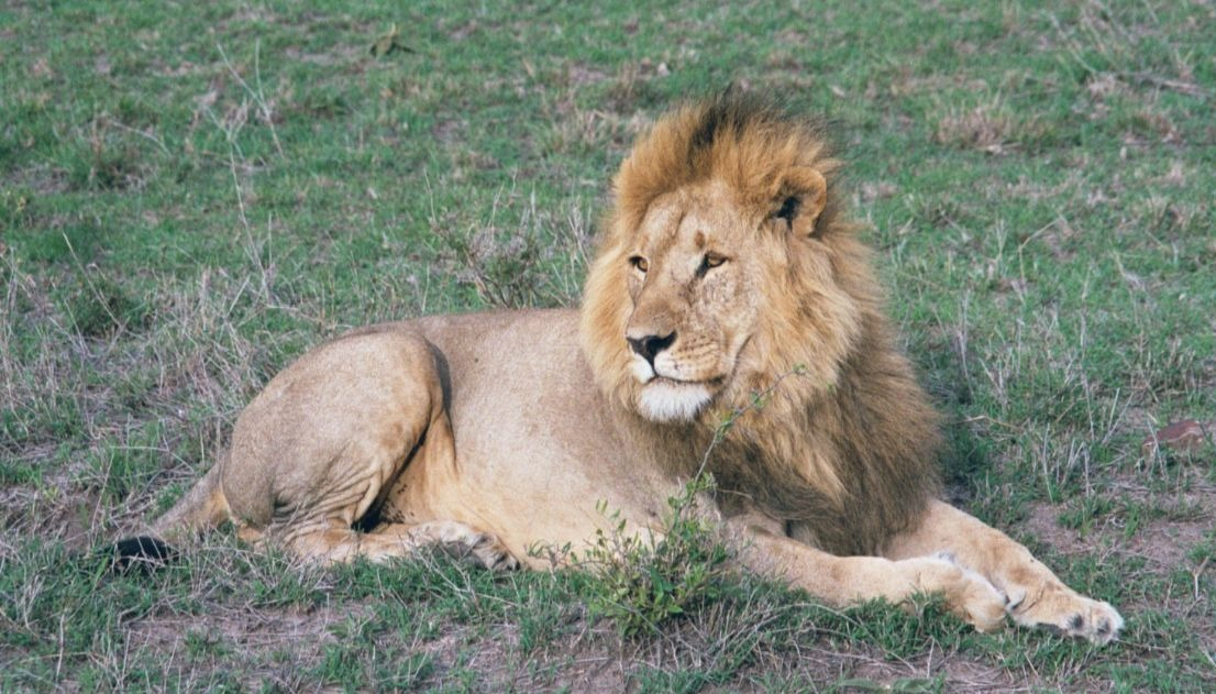 Lion, the king of Masai Mara's Savanna grasslands