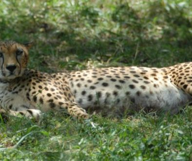 Leopart in Nairobi National Park 699x399 (1)
