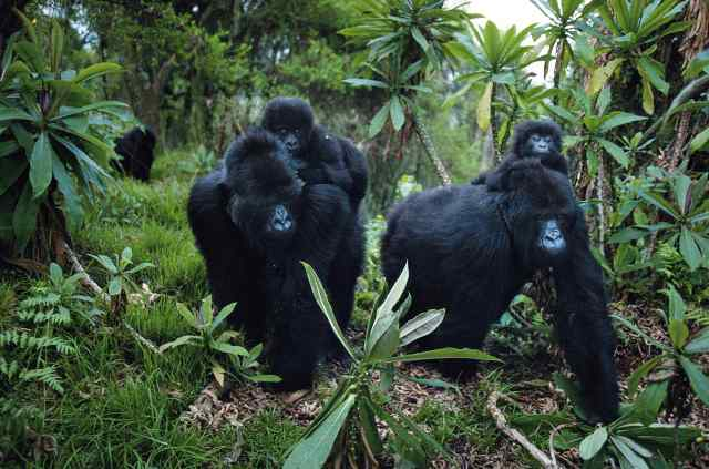 """A Wild Life"" photographer book wildlife gorillas"