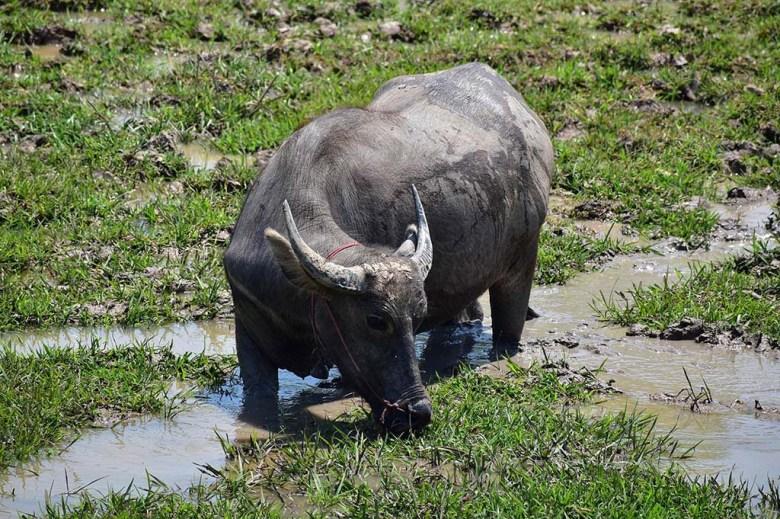 Water buffalo Bungva Lake Savannakhet