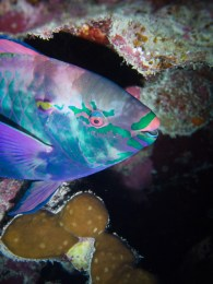 A colourful parrotfish