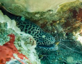 Another moray eel getting a good dental treatment