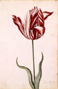 Semper Augustus tulip - Story Snug
