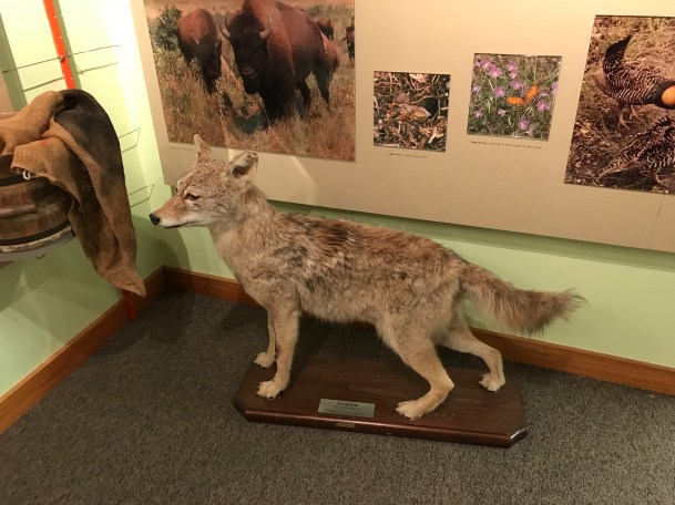 Coyote at Prairie State Park Welcome Center