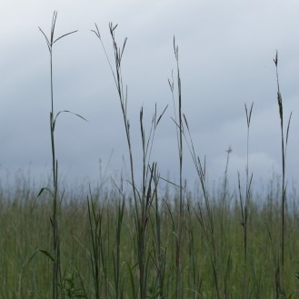 Prairie grasses at Shaw Nature Reserve