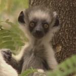 baby lemur