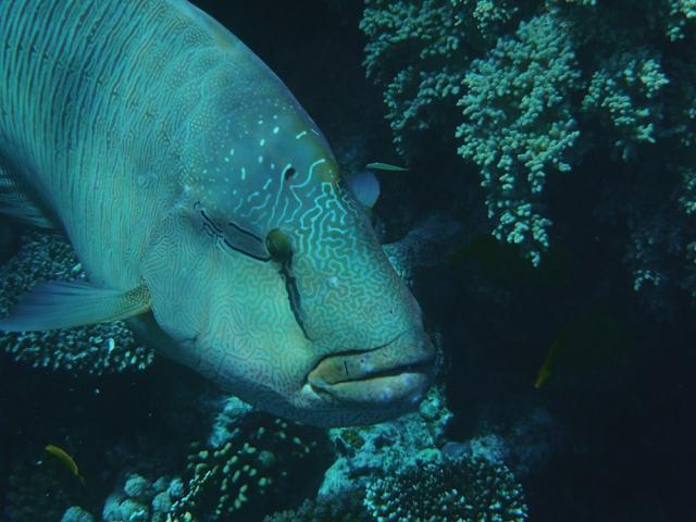 Napoleon fish - Egypt travel tips
