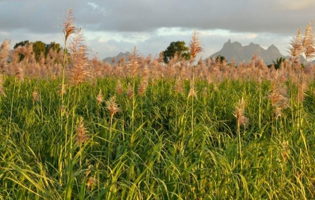 Sugarcane - Mauritius travel tips
