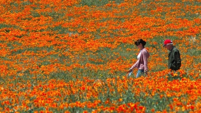 Shades of the World: Visitors strolling around a field of vibrant orange poppies in Antelope Valley